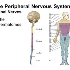 Brain Structure And Function Diagram Stx38 Wiring Black Deck The Peripheral Nervous System - Ppt Video Online Download