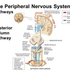 Reflex Arc Diagram Cyclic Photophosphorylation The Peripheral Nervous System - Ppt Video Online Download