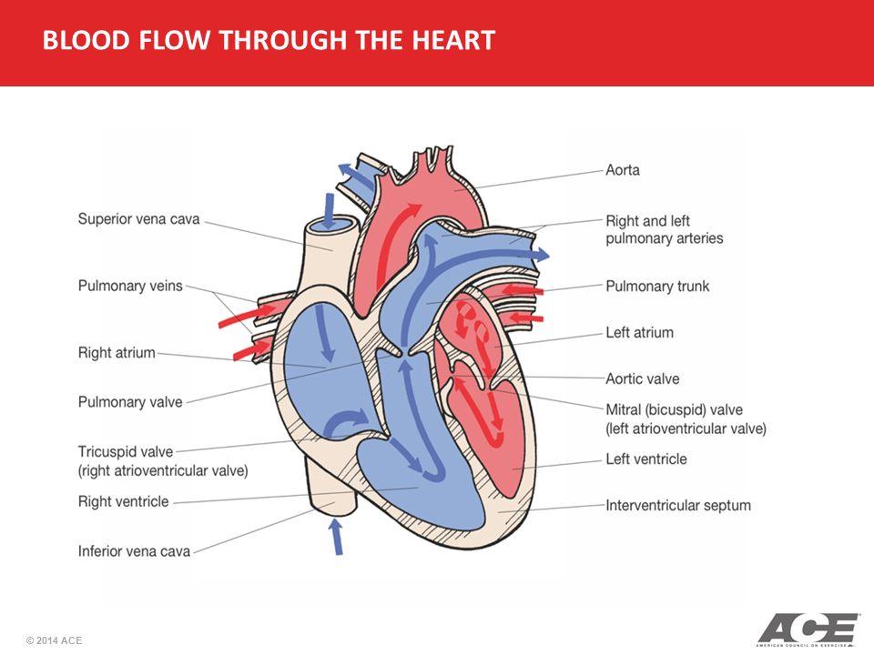 Printable Heart Diagram Blood Flow