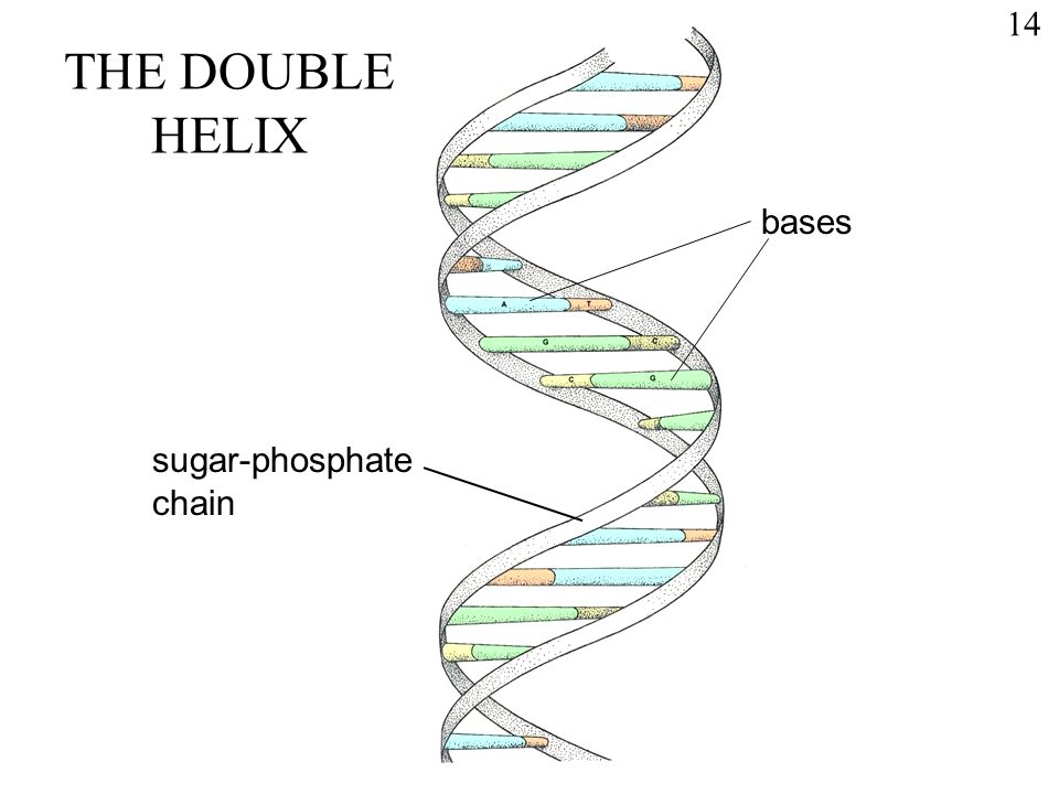 1 DNA The illustration is a 'model' of the double helix