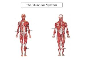 7th Grade Health Muscular System #2  ppt download