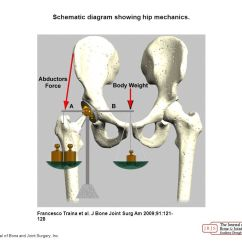 Hip Joint Diagram 6 Way Trailer Plug To 7 Wiring Volume 91 Supplement Sex Differences In Morphology