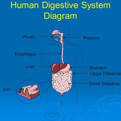 Anatomy Digestive Diagram Salivary Glands Sony Xplod Cdx Gt350mp Wiring Animal Tissues And Organ Systems - Ppt Download