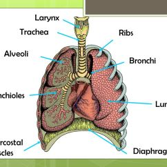 Lung Alveoli Diagram 2002 Chevy Impala Ls Radio Wiring Which Organs Are Involved In The Respiratory System (breathing) - Ppt Download