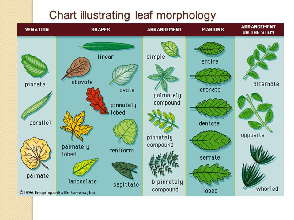 vascular plant diagram keystone rv dealers in yuma az leaf morphology. - ppt video online download