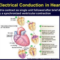 Sinoatrial Node Diagram Honda Motorcycle Alarm Wiring Cardiac Physiology. - Ppt Video Online Download