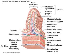 Figure 241 The Components of the Digestive System  ppt