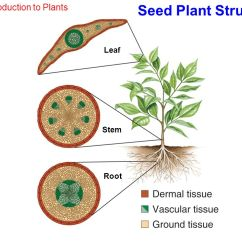 Plant Root Hair Diagram 3 Way Switch Power At Light Chapter23 Roots, Stems And Leaves Photo Credit: Getty Images Page Ppt Download
