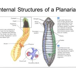 Excretory System Diagram Basic 98 Cherokee Radio Wiring Worms And Mollusks The Tips Of Beautiful, Tentaclelike Structures This Nudibranch ...