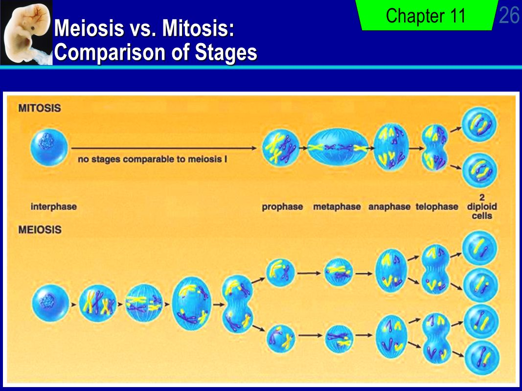 meiosis vs mitosis diagram shunt trip coil continuity of life cellular reproduction ppt video