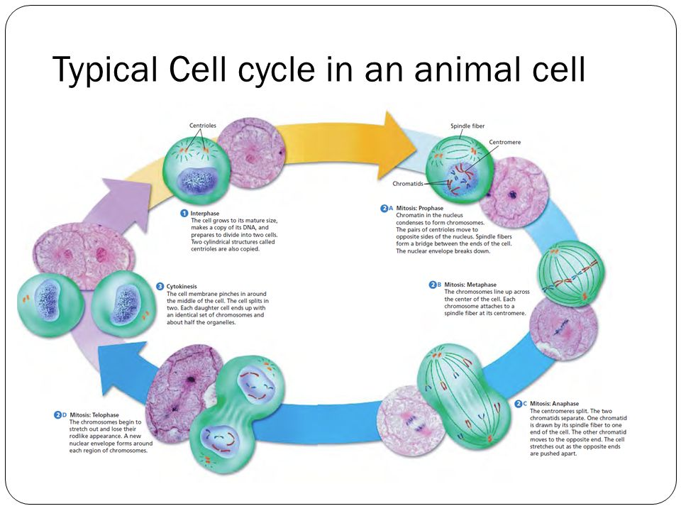 animal cell mitosis diagram labeled leaf division a grows in size by increasing both the and number of its cells. then ...