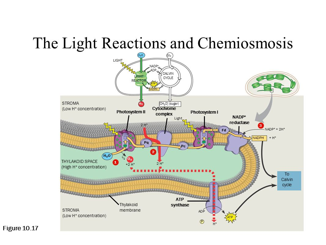 light reactions photosystem diagram caravan water pressure switch wiring journal explain the relationship between photosynthesis