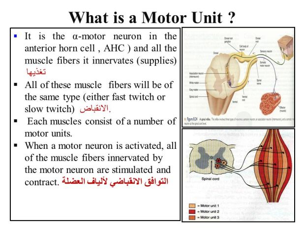 A motor unit consists of for What is a motor neuron