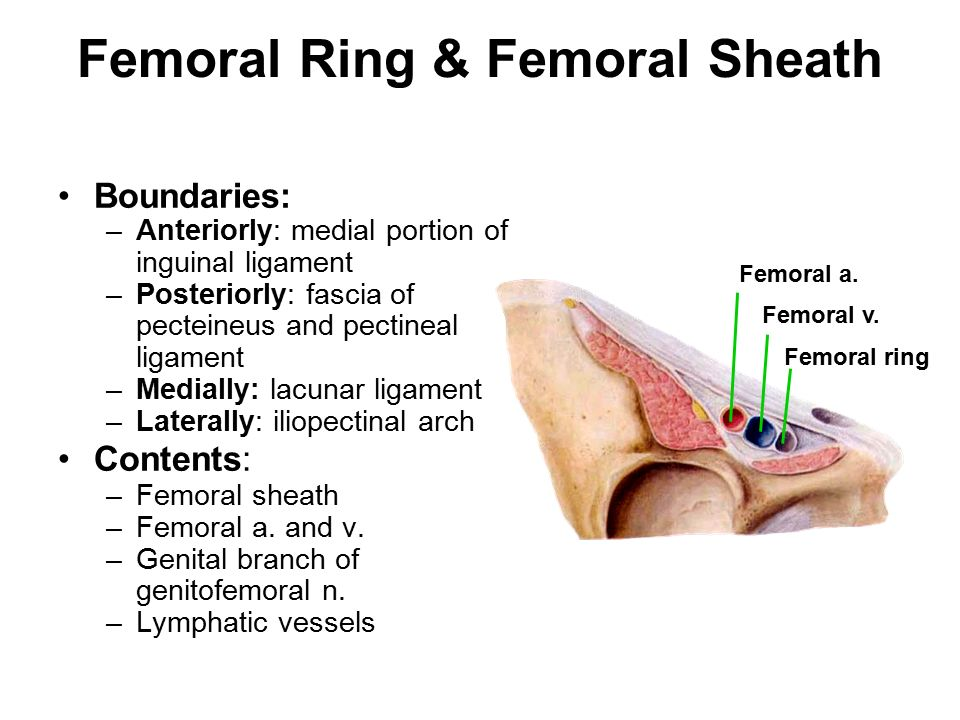 Image result for femoral ring contents