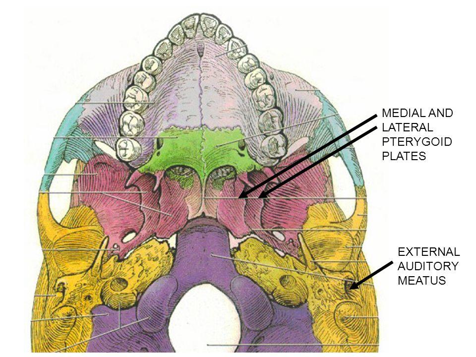 carotid artery diagram whelen hideaway strobe wiring i. calvarium = skull cap- consists of bones linked by sutures - ppt video online download