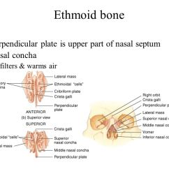 Ethmoid Bone Diagram Single Phase To 3 Motor Wiring Pictures Of Perpendicular Plate Rock Cafe Upper Teeth Back Elsavadorla