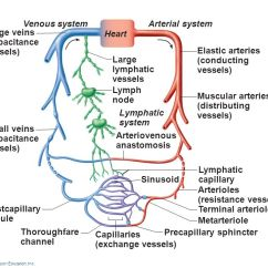 Portal Vasculature Diagram Richdel Sprinkler Valve Precapillary Sphincter - Ppt Video Online Download
