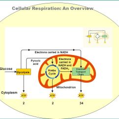 Explain Krebs Cycle With Diagram John Deere 455 Wiring Unit 4: Cell Energy P. 20 Sb3 A. The Cycling Of Through Processes ...