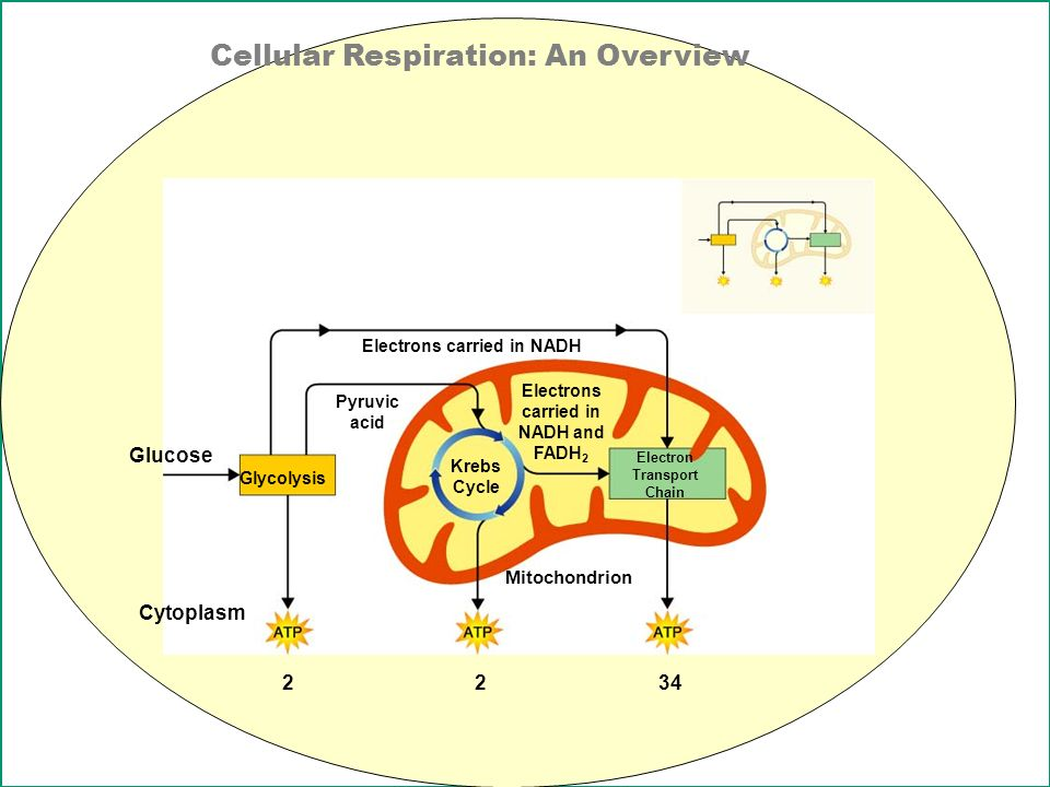 explain krebs cycle with diagram bmw z3 alarm wiring unit 4: cell energy p. 20 sb3 a. the cycling of through processes ...