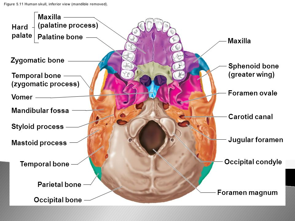skull diagram unlabeled sony radio receiver str d265 schaltbild the axial skeleton skull: cranium and face pages - ppt download