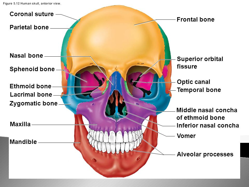 blank human skull diagram rule mate 500 wiring the axial skeleton skull: cranium and face pages - ppt download