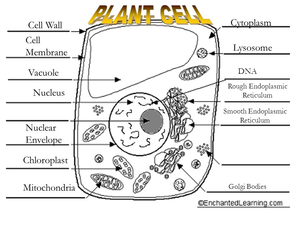 Mitochondria Worksheet Coloring Pages