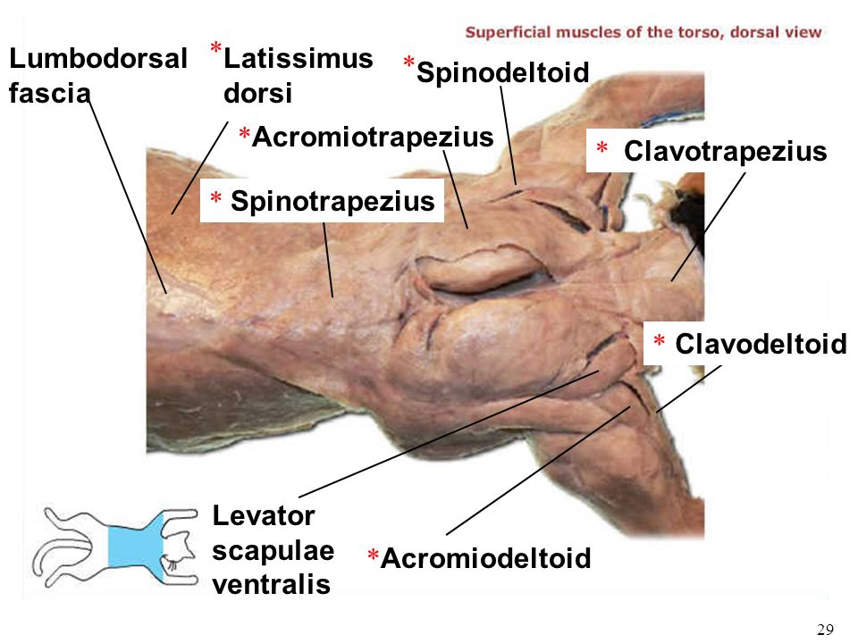 cat dissection muscle diagram back 3 way quick coupling manifold wiring and electrical bio 101 laboratories 11 12 histology gross human