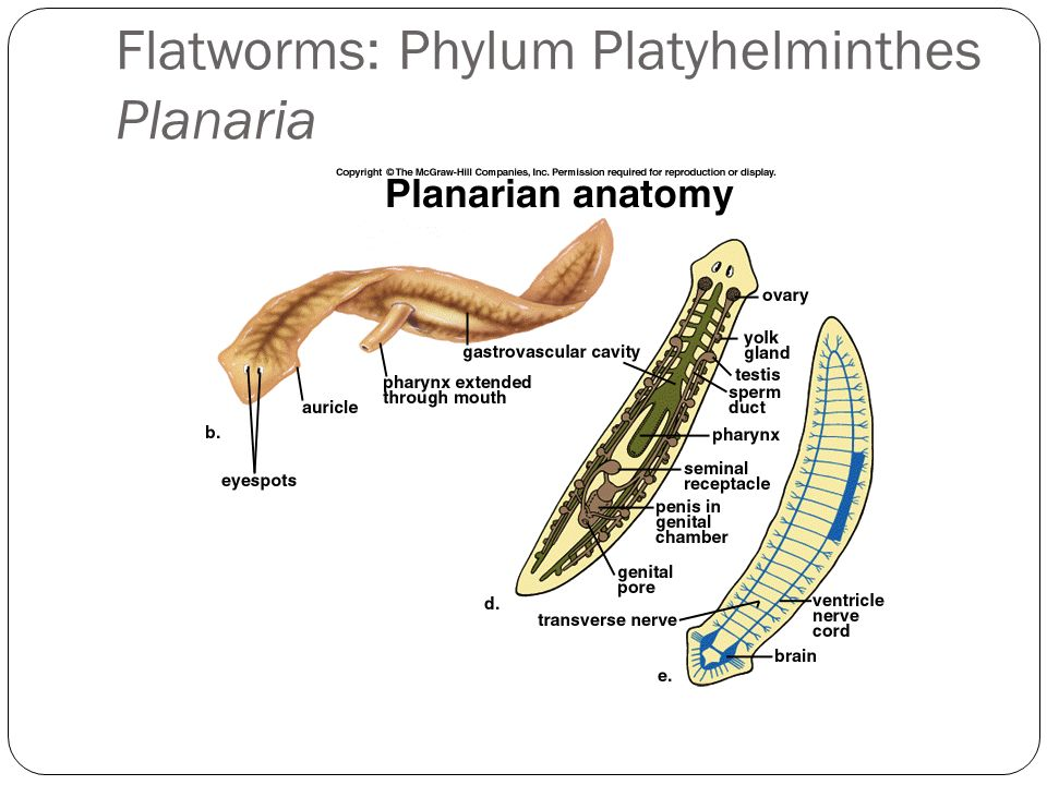 Flatworms Roundworms Segmented worms  ppt download