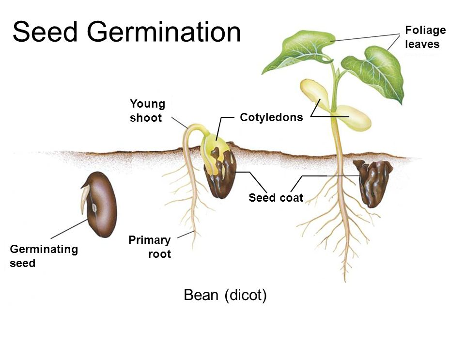 bean seedling diagram goodman ac thermostat wiring formal lab report seed germination lab. - ppt video online download