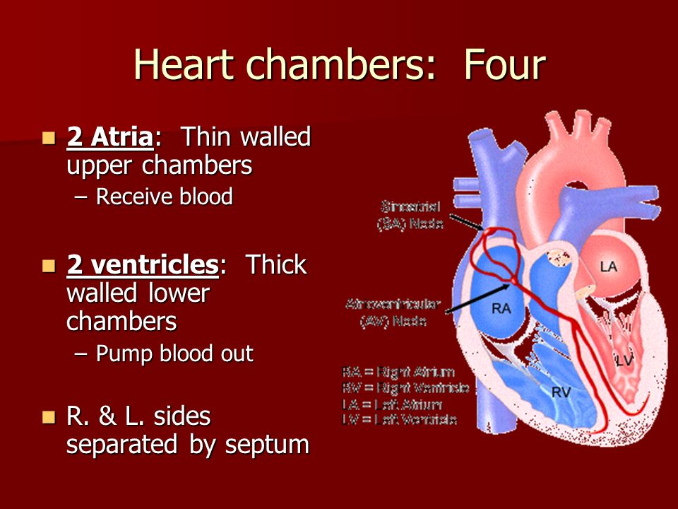 inner heart diagram 2006 dodge ram 1500 factory radio wiring your majestic pump: the human - ppt video online download