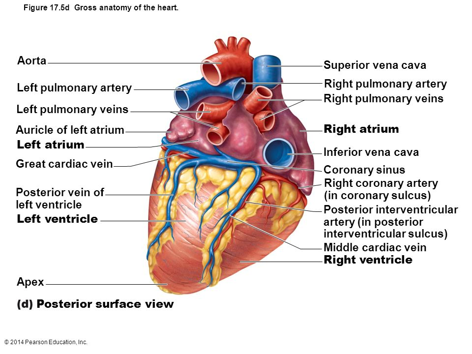 unlabeled heart diagram cross section 2005 chevy express front brakes locked 3d labeled great installation of wiring figure 17 5b gross anatomy the ppt video human blank
