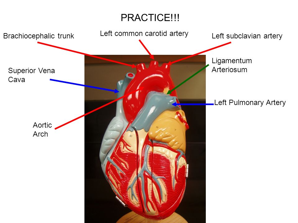 heart diagram coronary sinus coyote skeleton models page 10 of packet - ppt video online download