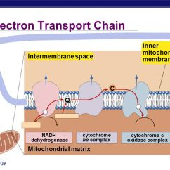 Photosynthesis And Cellular Respiration Cycle Diagram 1989 Ezgo Golf Cart Wiring Stage 4: Electron Transport Chain - Ppt Download