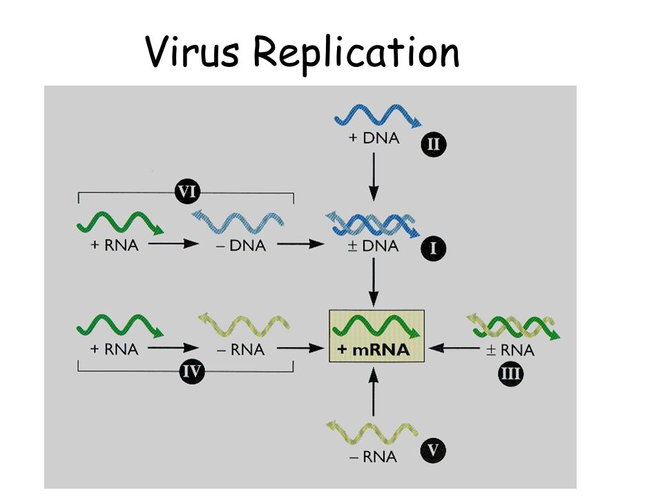skin system diagram schematic and wiring replication of positive-sense rna viruses - ppt video online download