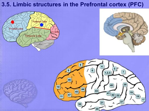 LIMBIC SYSTEM kaan yücel mdphd ppt download