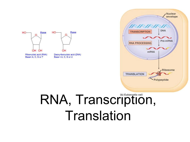 translation vs transcription venn diagram 1997 vw jetta wiring rna ppt video online download