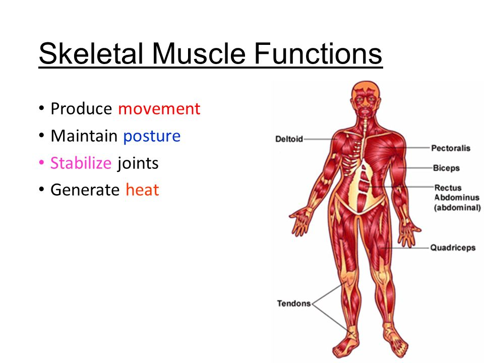 Muscle Function In Posture