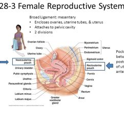 Diagram Of Uterus And Bladder Insect Beetles Chapter 28 The Reproductive System - Ppt Video Online Download