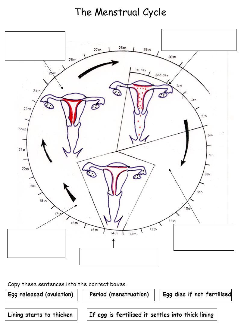 Reproduction Blank Female Human