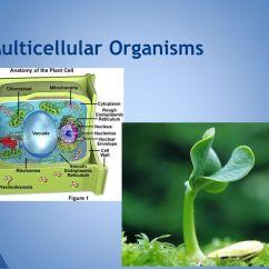 Amoeba Cell Diagram Standard Cat5 Wiring Unit 6: Living Organisms - Ppt Download
