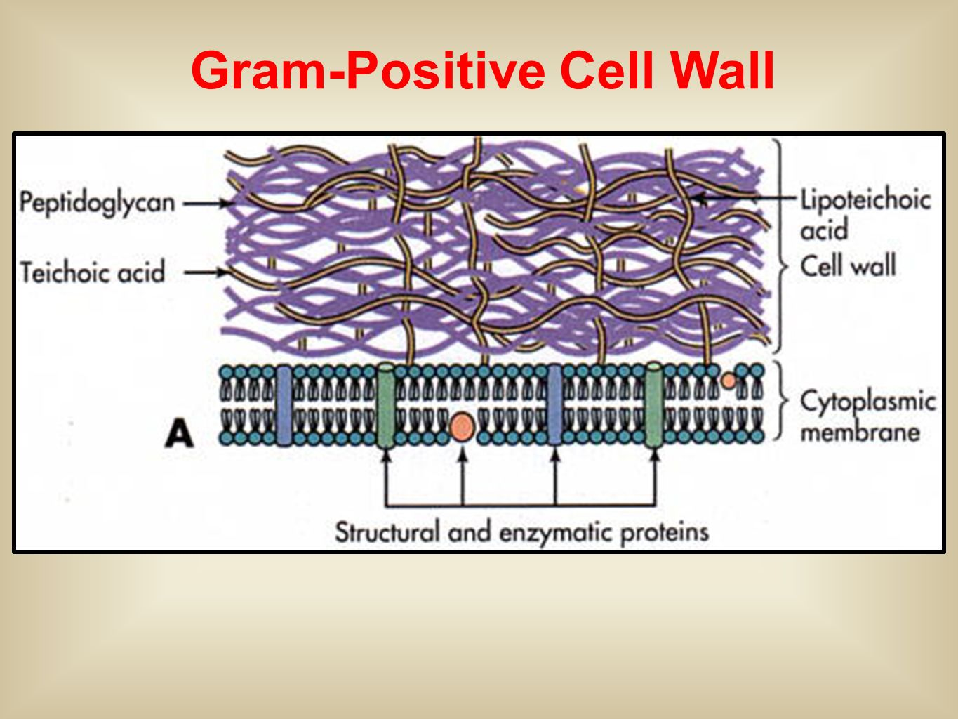gram positive cell wall diagram 7 pin large round trailer wiring d streptococcus and enterococcus ppt video online download