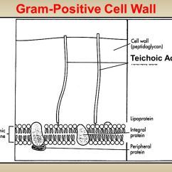 Gram Positive Cell Wall Diagram Shark Muscular System D Streptococcus And Enterococcus Ppt Video Online Download