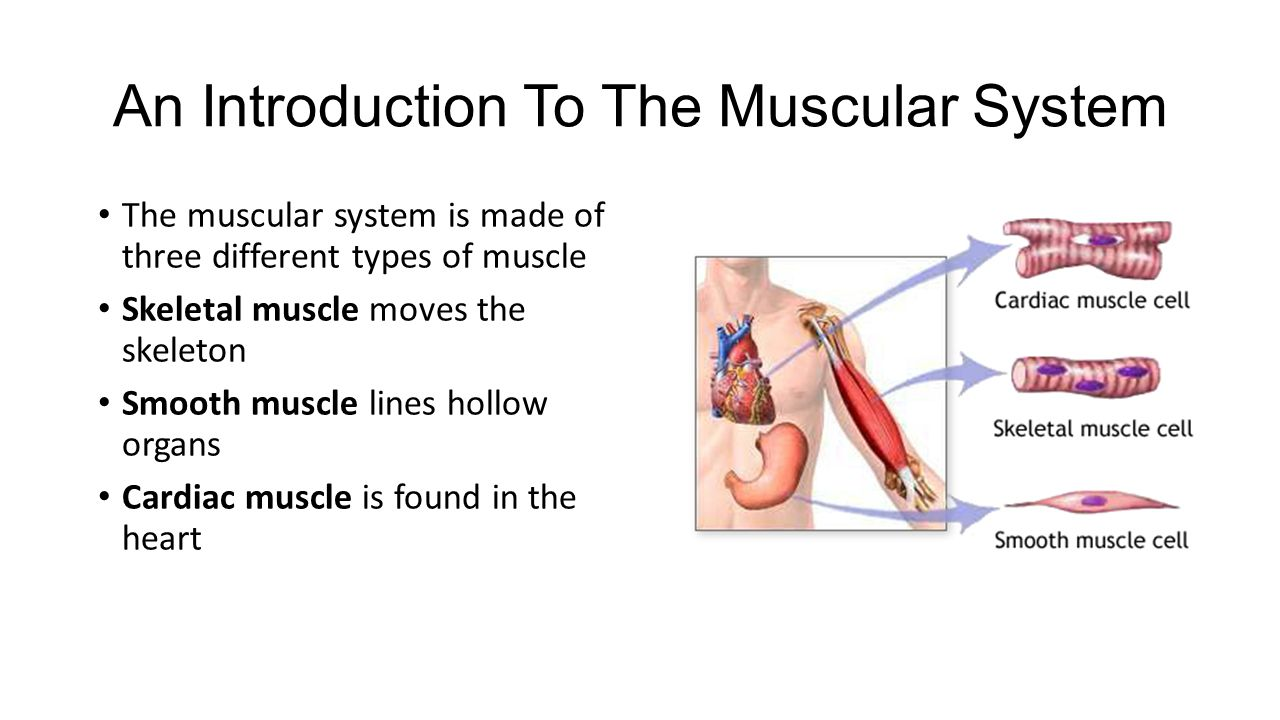 Skeletal Muscles Ppt Video Online Download