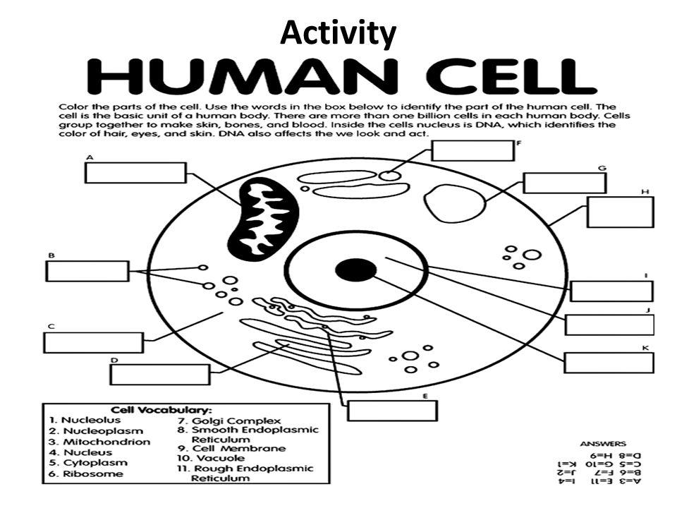 Aim: How do plant & animal cell organelles maintain