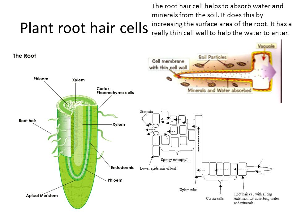 plant root hair diagram model t ford coil wiring aqa triple biology september ppt download