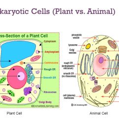 Animal Vs Plant Cell Diagram Blank Mitosis How We Study Cells Light Microscopes Used To See Most Of