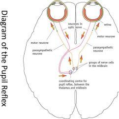 Pupil Size Diagram 2005 Nissan Titan Fuse Reflex Physiology Lab-7 Dr. Twana A. Mustafa. - Ppt Video Online Download