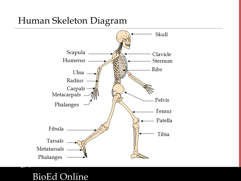 clavicle and scapula diagram hpm batten holder wiring the human organism: introduction to body systems - ppt download