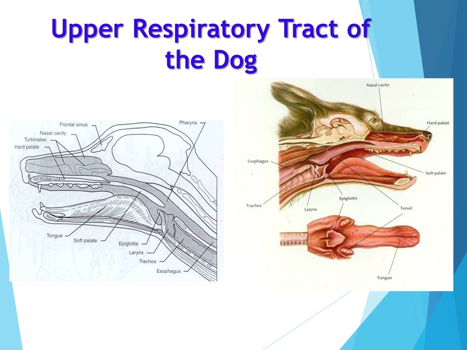 nose and smell diagram 2004 subaru outback exhaust system nsci4700 veterinary anatomy physiology andrea dickie b.v.sc. - ppt video online download