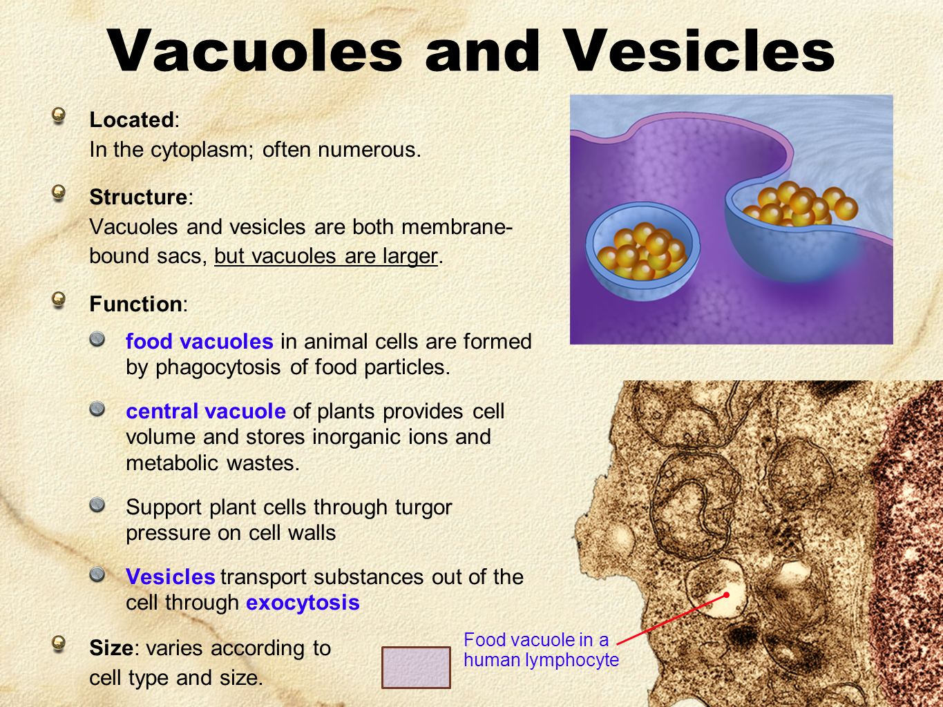 plant cell diagram vacuole single phase power central in animal cells